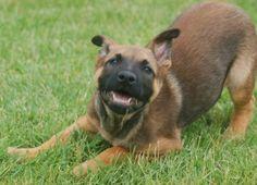 Belgian Malinois Shepherd Dog Malinois Shepherd, Shepherd Dog, Pastor Belga Malinois, Belgian Malinois Dog, Puppies, Dogs, Cute, Animals, Malinois Dog