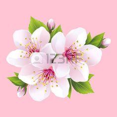 dessin fleur cerisier: Direction générale de la floraison blanche sakura cerisier japonais. Belle fleur rose cerise isolé sur fond rose. Élégant papier peint printemps fleuri. Vector illustration