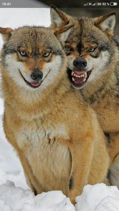 Pair Tattoos, Husky, Fox, Pairs, Animals, Tattoos For Couples, Animales, Animaux, Animal