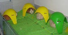 Sputnik xl, also preferred by guinea pigs