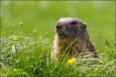 Parco Nazionale del Gran Paradiso, marmotta