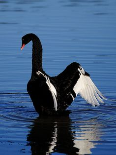 ˚Black Swan