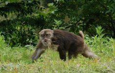 macaque11