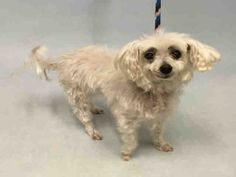 **SENIOR** - MEW - #A1083332 - Super Urgent Manhattan - FEMALE WHITE MALTESE MIX, 10 Yrs - STRAY - EVALUATE, NO HOLD Intake 07/29/16 Due Out 08/01/16 - EASY TO HANDLE