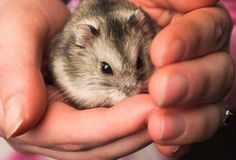 Four paws, two bright eyes, and a set of twitchy whiskers. There's nothing cuter than a pet hamster! If you've recently welcomed a hamster into your family, here are nine quick care tips to memorize. Hamster House, Hamster Breeds, Cute Hamsters, Bright Eyes, Happy Animals, Smell Good, Exotic Pets, Pet Care