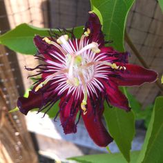 Passion vine flower (vine did not make it through last winter... Replaced with the crossvine)