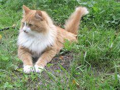 Siberian cat (nc)