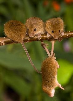 Mouse (plural: mice) is a small mammal belonging to the order of rodents, characteristically having a pointed snout, small rounded ears, and a long naked or almost hairless tail. The best known mouse species is the common house mouse (Mus musculus).
