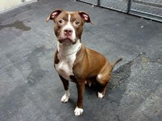 URGENT - Manhattan Center    MANDY - A0988154   FEMALE, BROWN / WHITE, PIT BULL MIX, 2 yrs  STRAY - STRAY WAIT, NO HOLD Reason STRAY   Intake condition NONE Intake Date 12/26/2013, From NY 10467, DueOut Date 12/29/2013 Original thread: https://www.facebook.com/photo.php?fbid=732198913459657&set=a.617938651552351.1073741868.152876678058553&type=3&permPage=1