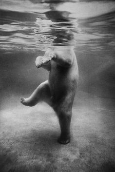 A polar bear seen underwater at a London zoo in 1967