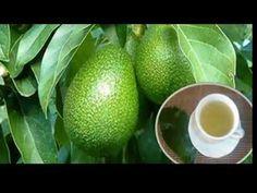 Health benefits of avocado leaves Make Hair Grow, How To Make Hair, Avocado Leaves, Avocado Hair, Jugo Natural, Toenail Fungus Remedies, Avocado Health Benefits, La Constipation, Homemade Moisturizer