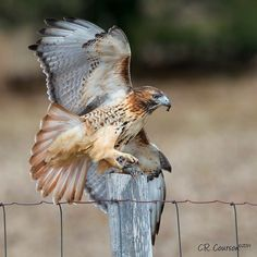 Raptor Bird Of Prey, Birds Of Prey, Falcon Hawk, Hunting Tattoos, Red Tailed Hawk, Hunting Tips, Turkey Hunting, Bird Feathers, Beautiful Birds