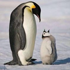 Cute, funny meme that underscores a greater point--the Penguins are a great hockey team, which makes for a fast-paced, exciting work environment. Animals And Pets, Baby Animals, Funny Animals, Cute Animals, Penguin Animals, Pinguin Drawing, Beautiful Birds, Animals Beautiful, Pens Hockey