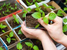 Несмотря на то, что до дачного сезона ещё далеко, пора приступать к выращиванию рассады некоторых культур. В феврале опытные огородники сажают семена болгарского перца, чтобы рассада выросла и окрепла к моменту пересадки в открытый грунт.