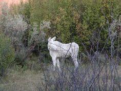 moose | Albino Moose (White Moose)