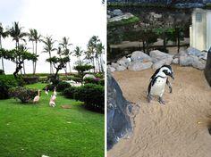 Hyatt Regency at Kaanapali in Hawaii has flamingos, black swans, and African penguins.