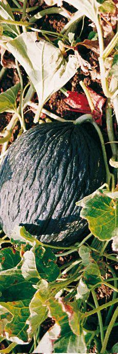 #Sicily slow #food Melone Purceddu at #Trapani www.bebtrapanigranveliero.it