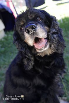 We have a dog available who likes kids and who also likes other dogs! Meet Pucci, the Fidose adoptable dog of the week. Black Cocker Spaniel, American Cocker Spaniel, Cocker Spaniel Puppies, English Cocker Spaniel, King Charles, I Love Dogs, Cute Dogs, Clumber Spaniel, Spaniels