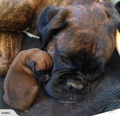 Boxer puppies - Discover additional information on Boxer dogs Take a look at our site Boxer Dog Breed, Boxer Dog Puppy, Boxer Mom, Boxer And Baby, Rottweiler Dog, Baby Dogs, Dog Cat, Cute Puppies, Cute Dogs