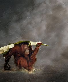 Orangutan, disappearing quickly. Boycott palm oil products and help protect Orangutan habitat.