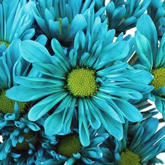 FiftyFlowers.com - Turquoise Blue Daisy Flower (cheaper than a florist)