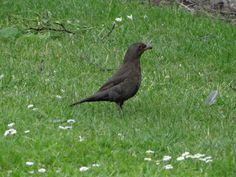 Common Blackbird, female / Svarttrost, hunn / Turdus merula, female. York, Great Britain, June 2014