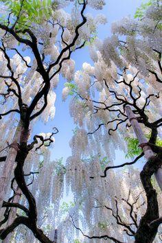banshy:  White Wisteria, Japan | Jormungand