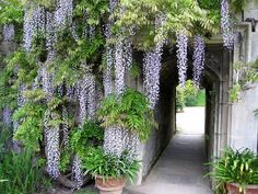 Wisteria. I love this beautiful vining flower!  We want to plant some to grow over our swing outside.