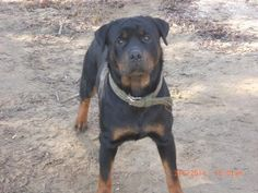 Kirkland Rottweilers-rottweiler puppies for sale in Indiana