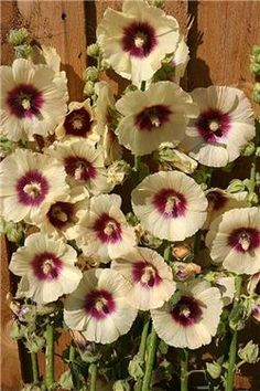 Halo hollyhocks are easily grown from seed for $1.00 (May take 2 years to bloom, be patient)