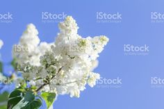 Beautiful blooming white lilac branch royalty-free stock photo