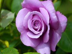 Maravillosa rosa de color lila