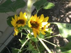 Little baby sunflowers that grew after the squirrels ate the head of the big sunflower.
