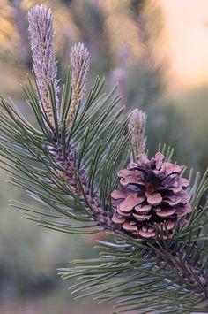 ✯ Pine Cone at Sundown
