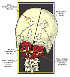 suboccipital muscles - eight muscles total, one set of four on either side. cures tension headaches!