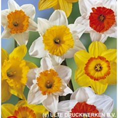 Large Cupped Daffodil Bulbs Mix | Narcissus | Large Healthy Bulbs for the Biggest Blooms