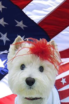 """4th of July Westie """"American Beauty"""" Garden Flag. BENEFITS WESTIE RESCUE OF MICHIGAN. Photo of a WRM Rescued Westie. 12 in X 18 in, Double sided, $17.00. FAST 'N FREE USA DELIVERY, Will Ship International. #WestieRescueMichigan #WestieClubMichigan"""