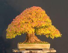 Walter Pall - Germany  Trident Maple (Acer burgerianum)