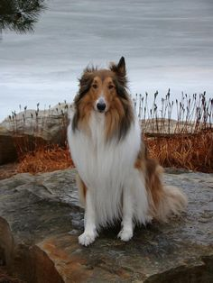A beautiful rough collie by the sea. #collie