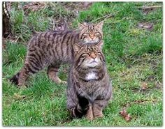 Scottish wild cats...like Sonsi in Hamish MacBeth!