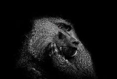 Baboon with brown eyes by Wallaert-Simon Hélène-Remy on 500px