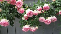eden climbing rose picket fence | My climbing Eden rose, is loaded with lush cabbage roses. I hate to ...