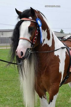 """Dazzling Bobby""  Tri-color Gypsy Vanner Horse"