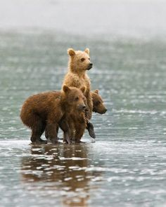 Three's a company! These adorable Coastal Brown Bear cubs were spotted taking a dip at Lake Clark, Alaska. Talk about real life teddy bears! (photo: Mac Danzig) by christian Cute Creatures, Beautiful Creatures, Animals Beautiful, Unusual Animals, Beautiful Babies, Nature Animals, Animals And Pets, Cute Baby Animals, Funny Animals
