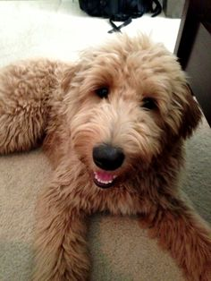 Goldendoodle Haircuts Styles - All About Style Rhempreendimentos.Com Haircut Style goldendoodle haircut styles Goldendoodle Haircuts, Goldendoodle Grooming, Mini Goldendoodle, Dog Grooming, Goldendoodles, Labradoodles, I Love Dogs, Cute Dogs, Puppy Cut
