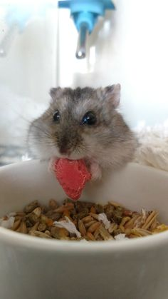 My favorite picture of hamster! Hamster Food, Baby Hamster, Robo Dwarf Hamsters, Cute Hamsters, Fluffy Animals, Animals And Pets, Pet Organization, Super Cute Animals, Gerbil