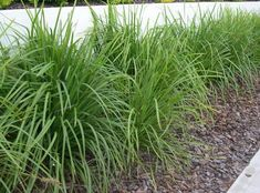 Plant in volume for erosion control. A great way to purchase plants in bulk online. Guaranteed premium plant, fast delivery, it's the best way to buy plants online ! Garden Shrubs, Landscaping Plants, Garden Beds, Garden Plants, Home And Garden, Lomandra, Australian Native Garden, Plants Delivered, Clay Soil