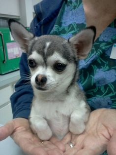 Siberian Husky Chihuahua mix? Adorable. Doggiessss