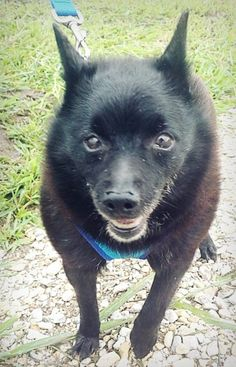 Meet Skip, a Petfinder adoptable Schipperke Dog | Decorah, IA | Meet Skip!  She is a 9 year old Schipperke who would love to spend her senior years in a loving...