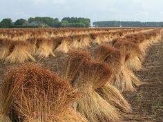 France is the largest producer of flax in Europe. French flax fibre is considered one of the worlds best. Cropped in Flanders, Picardy and Normandy it enjoys very favorable climatic conditions. Dundee, Technical Textiles, Roman And Williams, Flax Fiber, Flax Plant, Edible Oil, Plant Fibres, Linseed Oil, Blue Flowers